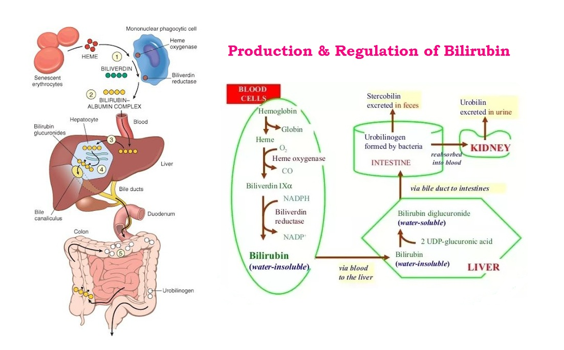 Estimation of Bilirubin – Jaundice : Significance, Production, Transportation, Metabolism & Laboratory Analysis